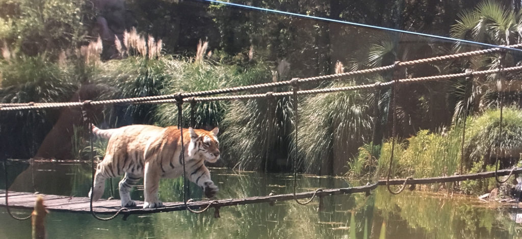 Tiger on bridge