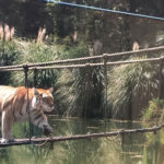 Tiger on bridge